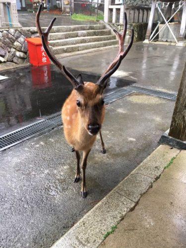 金華山神社の鹿