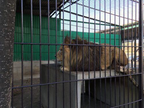 東北サファリパーク・百獣の王
