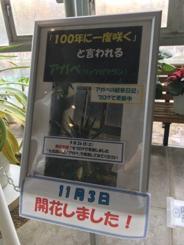 七北田公園アガベ
